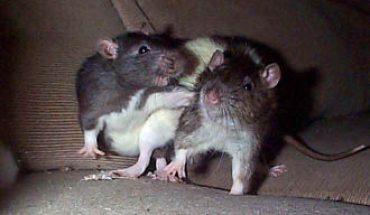 combat de rats tunisie