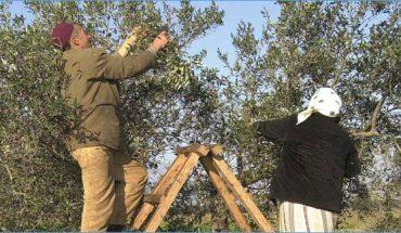 cueillette des olives tunisie
